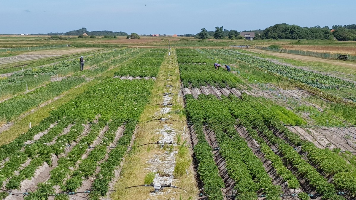 Potato field - open air lab, Texel (July 2018)