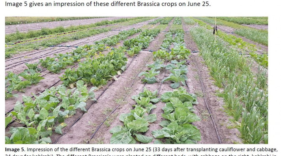 Impression of the different Brassica crops