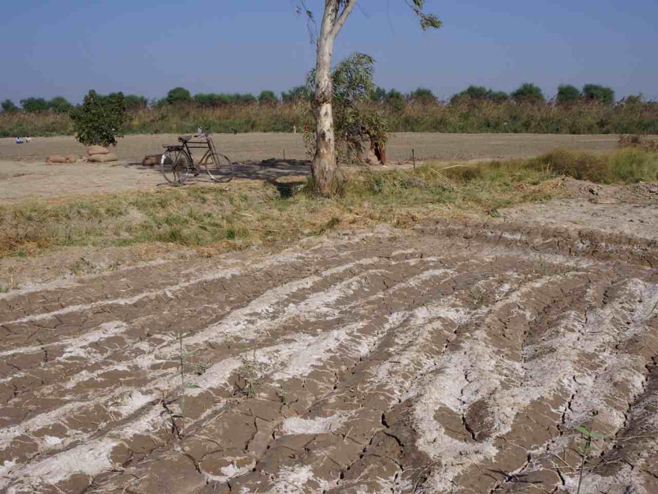 Lucernă pentru terenuri sărăturate
